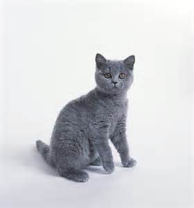 chartreux cat chartreux cat breed information pictures characteristics