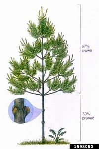 Pruning  General  On Eastern White Pine  Pinus Strobus