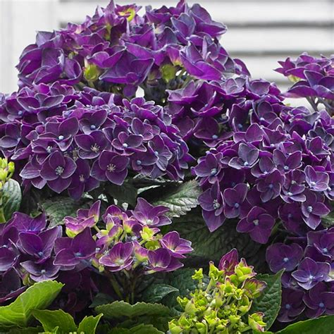 purple hydrangea hydrangea music deep purple dance mirror garden