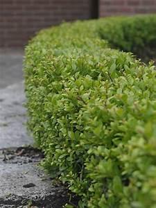 Ilex Hecke Giftig : ilex crenata 39 dark green 39 japanische stechpalme 39 dark ~ Lizthompson.info Haus und Dekorationen