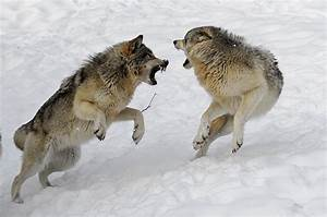 …los lobos se atacan entre si. | nihil alienum