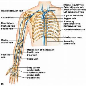 Class Blog  Bio 202 Arteries And Veins Key
