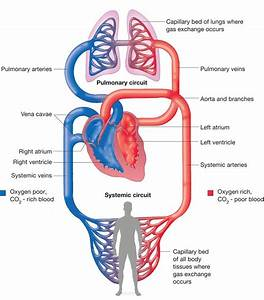 human circulatory system simple | Human body anatomy human ...