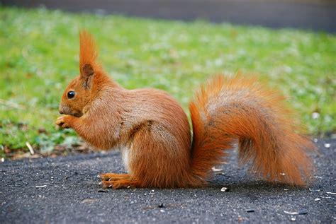 squirrel fun animals wiki videos pictures stories