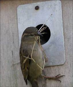Building a nestbox for house sparrows – House Sparrow Research