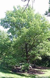 White Ash Fraxinus Americana L