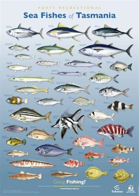fishes  tasmania posters