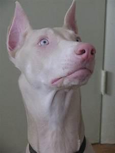 37 best images about Albino Doberman on Pinterest | Coats ...
