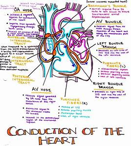 Conduction System Of The Heart    Heart  Heartbeat