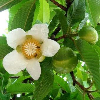 tanaman dillenia