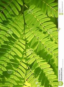 Close up of tamarind leaf stock image. Image of background ...
