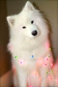 best 25 samoyed ideas on pinterest samoyed dog samoyed