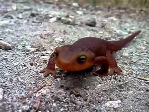 cute salamander - YouTube
