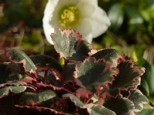 Pflanzen Bestimmen Nach Bildern : judenbart gen gsam sch n und winterhart pflanzen magazin pflanzen wundersch n green24 ~ Eleganceandgraceweddings.com Haus und Dekorationen