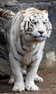 Lookout, Here I Come   White tiger, Tiger, Wild cats