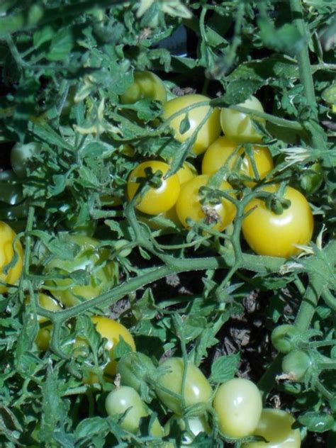 This variety of tomato is perfect for pots and containers. Yellow Cherry Tomato Seeds, Tom Thumb, rare tomato seed heirloom tomatoes, small cherry tomato ...