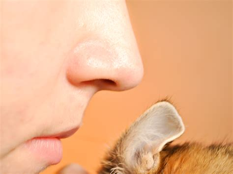 ways  check cats  ear mites wikihow