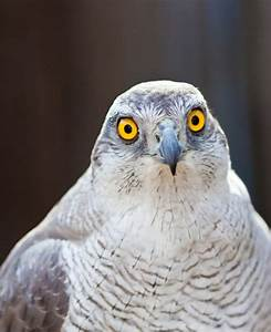 Front view of Hawk head Photo | Free Download