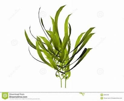 Kelp Illustration Illustrations Seaweed Plant Sea Plants