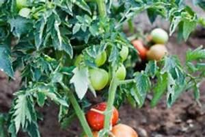 Tomaten Richtig Schneiden : tomatenpflanzen schneiden so machen sie es richtig ~ Lizthompson.info Haus und Dekorationen