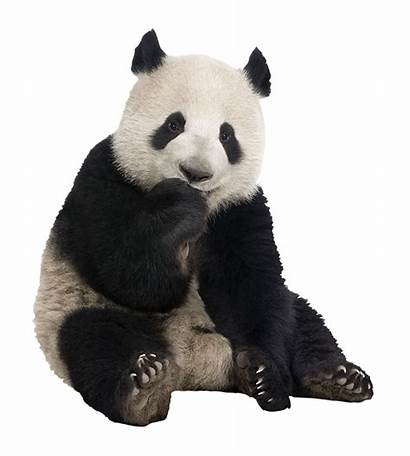 Panda Colora Stickers Mania Muurstickers Muraux Kopen