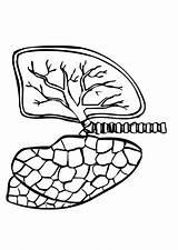 Coloring Lungs Sheets Outline Inside Pulmones Human Edupics Colorear sketch template
