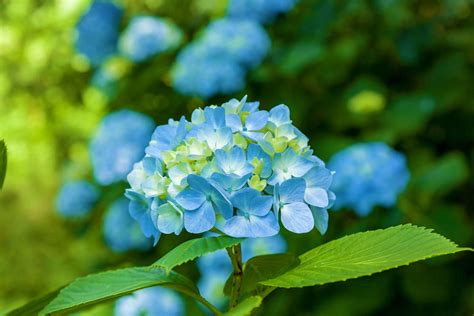 hortensien mit essig gießen hortensien blau f 228 rben anleitung experten tipps plantura