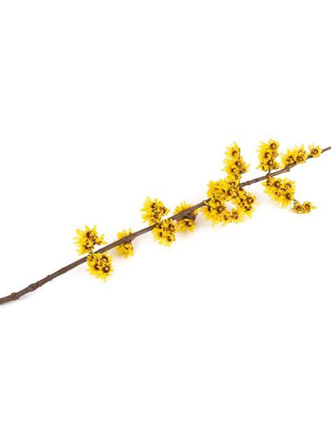 fiore calicanto calycanthus praecox vendita piante on line solopiante it