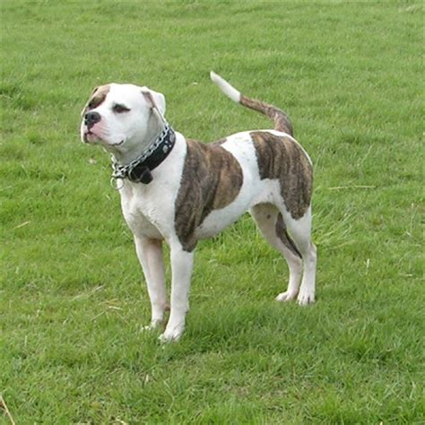 american bulldog colors american bulldog great reviews breeds and
