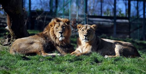 dudley zoo cat lion zoological gardens lions feed asiatic dudleyzoo lions1 go places animal children letsgowiththechildren
