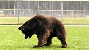 10 Breeds of Dogs that looks like Bears - Tail and Fur