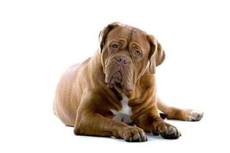Ee  Dogue Ee    Ee  De Ee    Ee  Bordeaux Ee   The French Mastiff