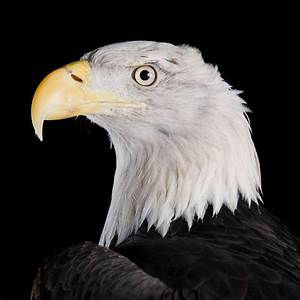 Bald Eagle | National Geographic