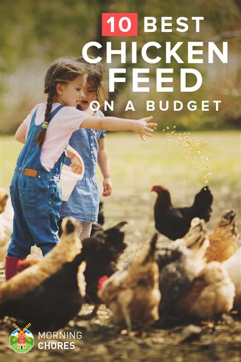 cheap  nutritious chicken feed  wont break