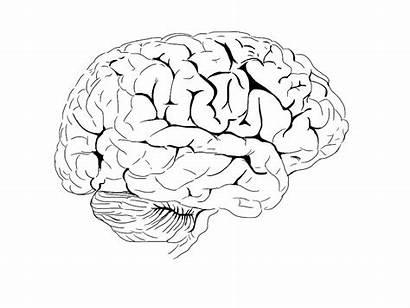 Brain Coloring Human Nervous System Anatomy Worksheet