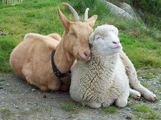 Image result for sheep and goats