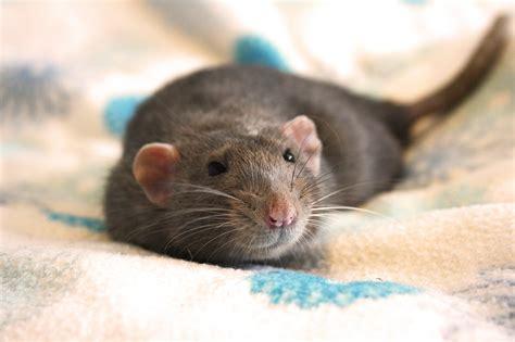 Grey Pet Rats