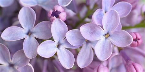 grow  lilac bush tips  growing lilac