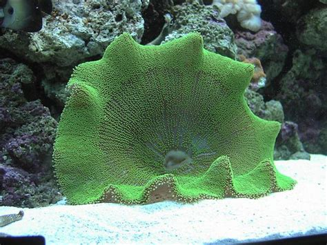 Haddon's Carpet Anemone, Green (stichodactyla Haddoni) Photos Carpet Cleaning Stillwater Ok Red Inn Denver Pa Silverdale Carpets Tuftex Review Just Howell Nj Mothers Upholstery Cleaner Depreciable Life Of Direct