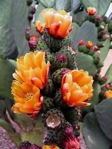 blooming cactus flowers xcitefun net