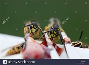 Was Essen Wespen : wasps stockfotos wasps bilder alamy ~ Frokenaadalensverden.com Haus und Dekorationen