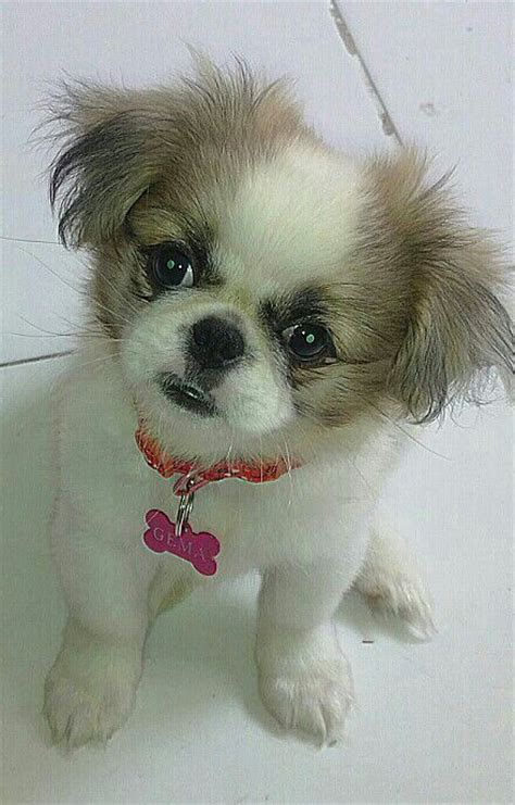 256 best images about pekingese on pinterest