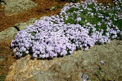 creeping phlox about creeping phlox how to plant and care for creeping phlox plants