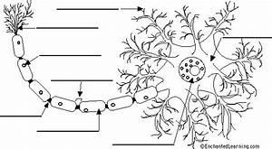 Neuron Anatomy Diagram To Label