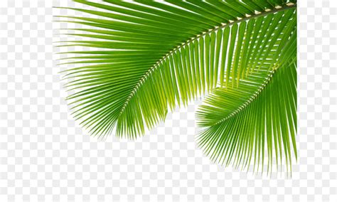 arecaceae leaf palm branch palm leaf leaves png png