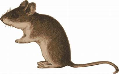 Clipart Tail Mouse Mice Dormouse Transparent Webstockreview