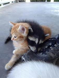 My friends cat is raising an abandoned raccoon with its ...
