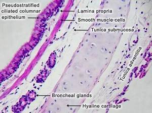 Trachea Histology Labelled images