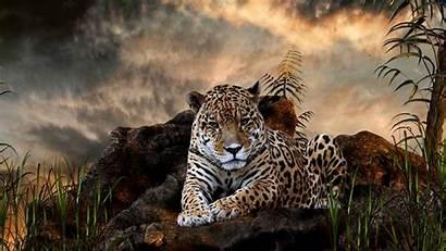 Leopard 1080p Wild Wallpapers Animal Tiger Desktop