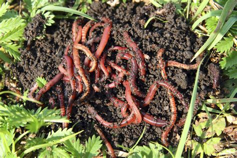 composting worms wigglers compost worm wiggler bin pile